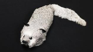Spring animal - Zilveren vos